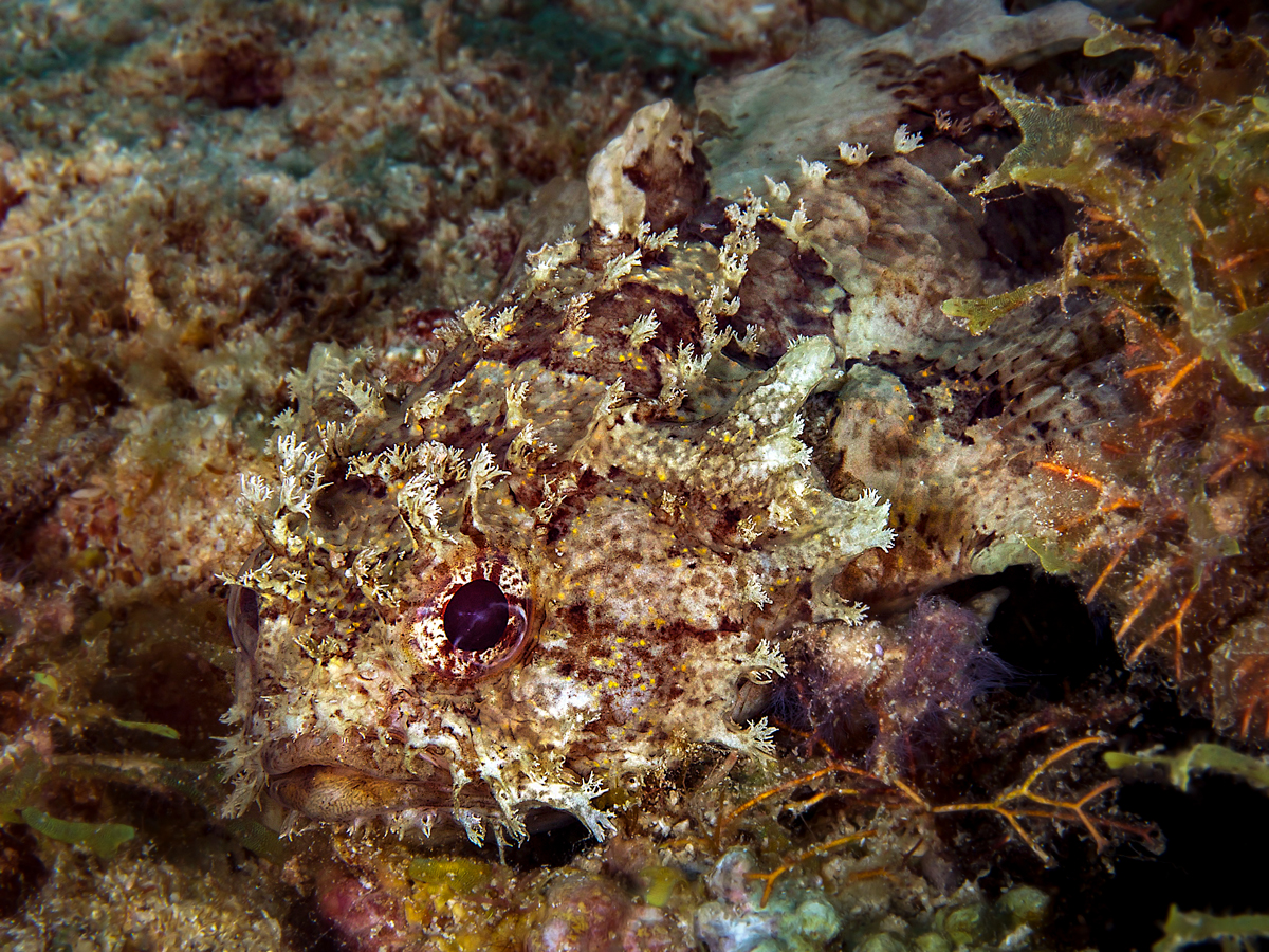 Small-scale Scorpionfish