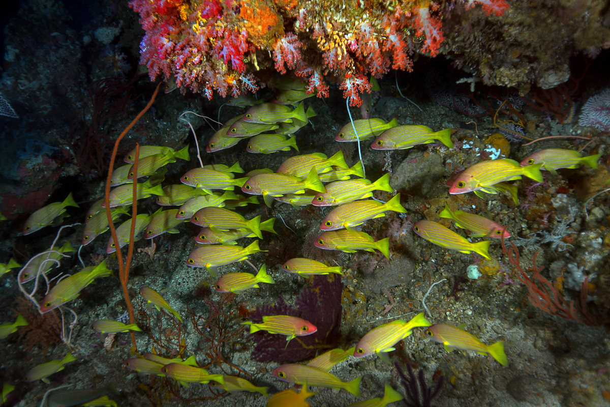 Yellow Snappers
