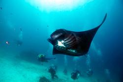 Manta Ray with Divers