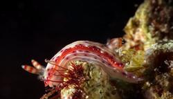 Nudibranch - Hypselodoris maculosa