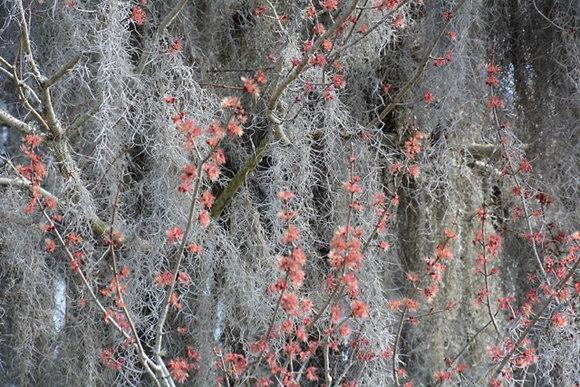 Soft Moss H1, Madisonville moss