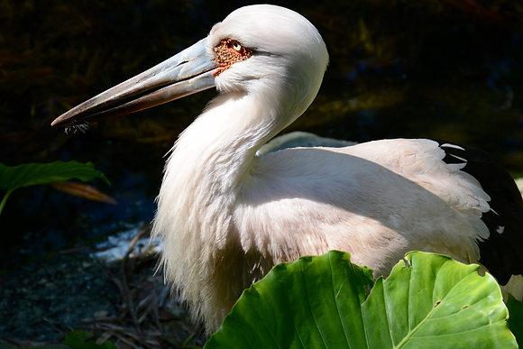 Audubon  Zoo Pelican
