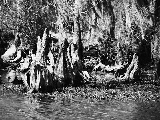Swamp 1 BW, Tchefuncte River