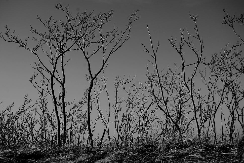 dusk trees 09