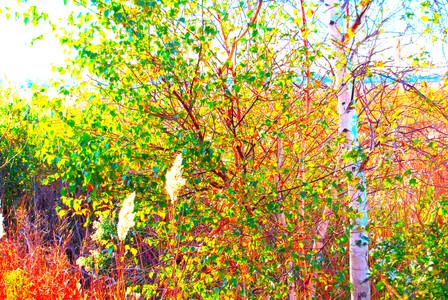 Marsh Birch