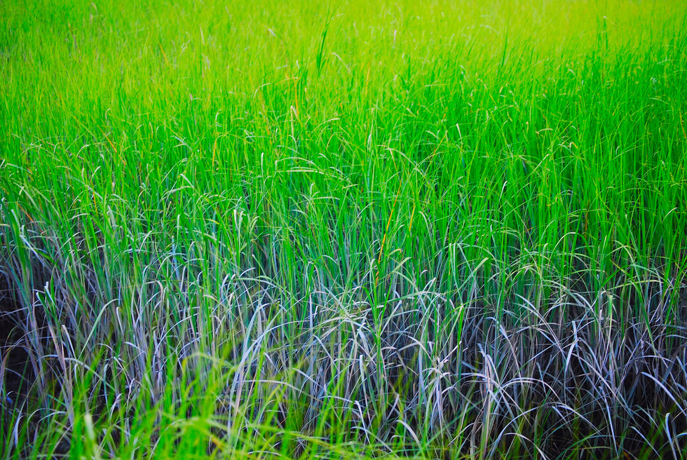 STRIPED GRASS.84