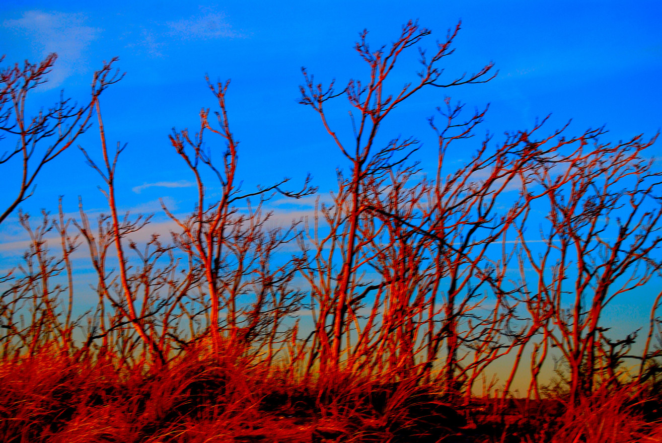 LONG BEACH RED TREES