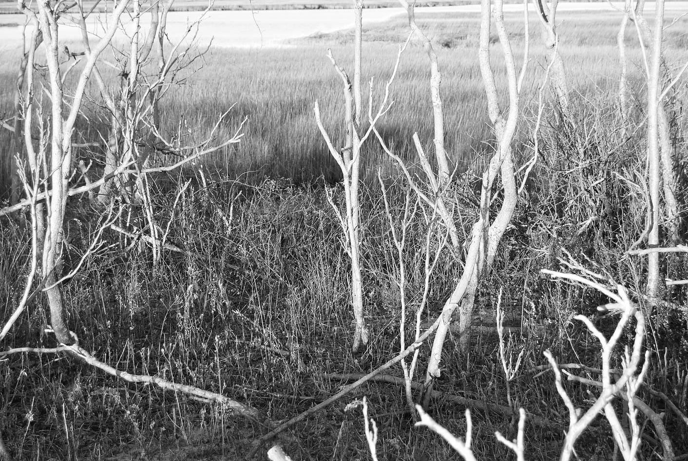 LONG BEACH SILVER TREES