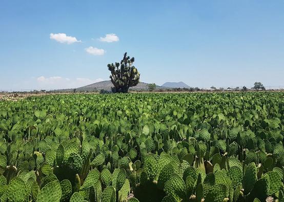 Cultivos de Nopal Cactus Power