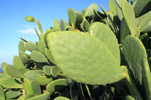Penca Cactus Power Mexico