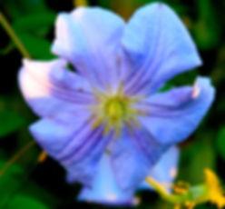 Blue clematis.jpg
