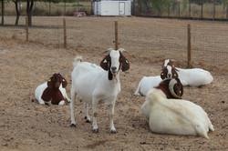 Cabras Boer
