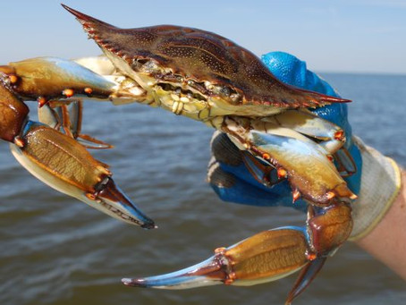 5 Things You Didn't Know About Blue Claw Crabs