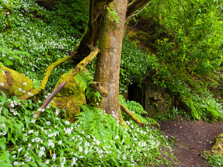 Wild Garlic, Lennox Forest