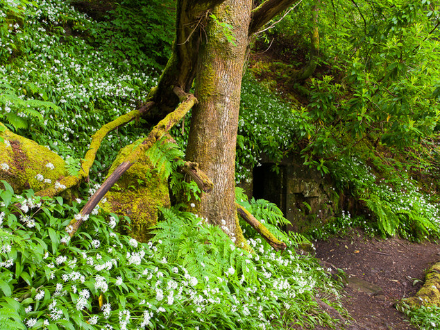 Wild Garlic, Lennox Forest