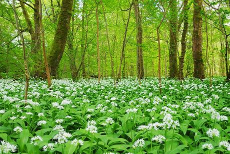 Wild Garlic Wood.jpg