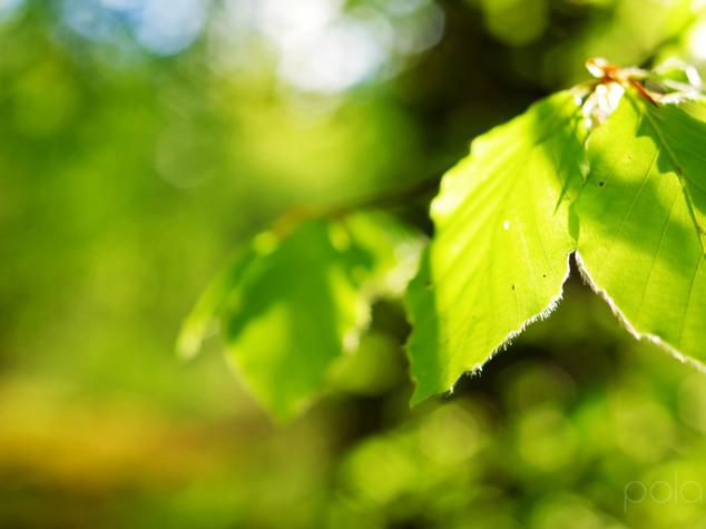 Spring Leaves, Lennox Forest
