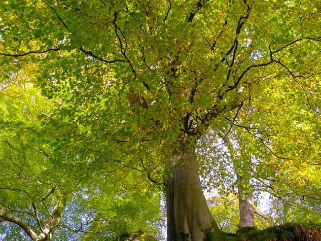 Spring Canopy, Campsie Glen