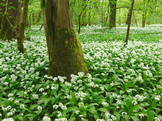 Wild Garlic Woods