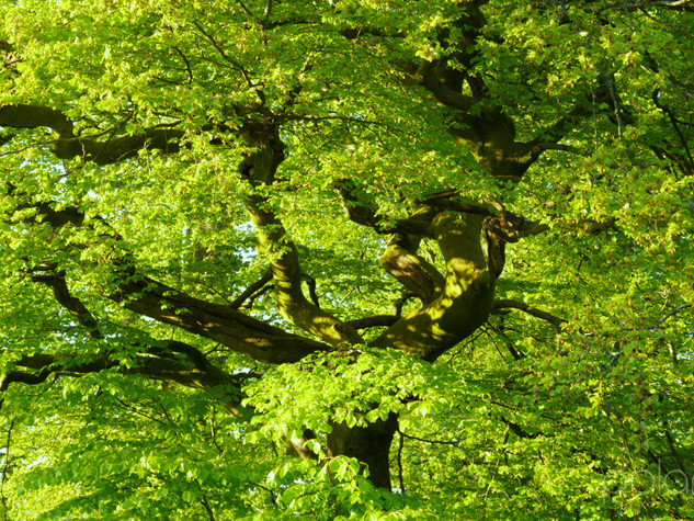 Spring Tree, Lennox Forest