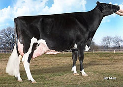 Leaninghouse Holsteins High Type Individuals
