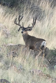Trophy Mule Deer in the Velvet