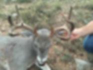 Top View of a Mule Deer