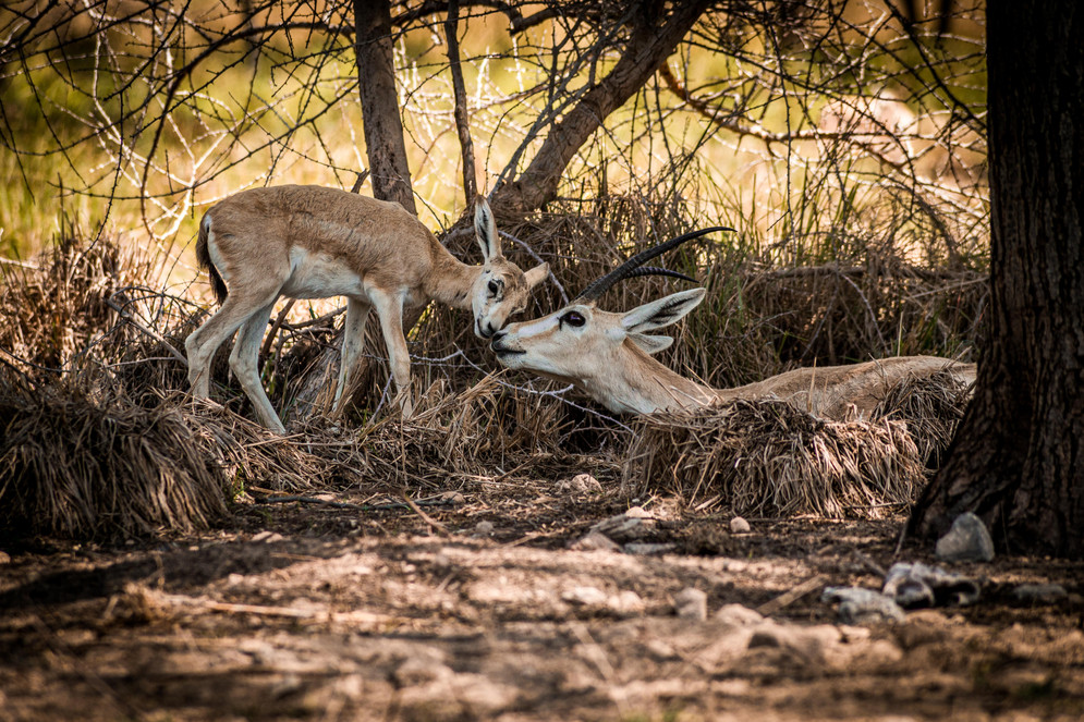 Antilope and her Baby