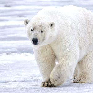 De Los Osos Polares (From the Polar Bears)