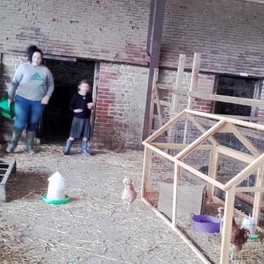 Feeding Chickens