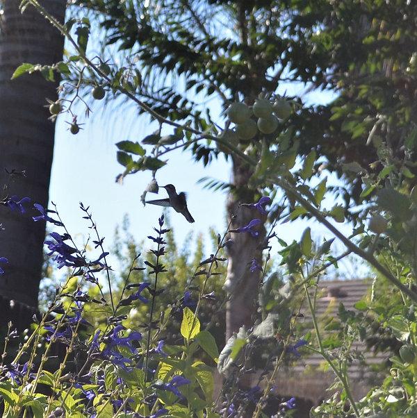 Hummingbird 071319.JPG