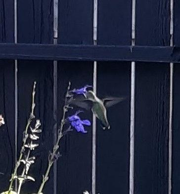 Hummingbird 090719.jpg