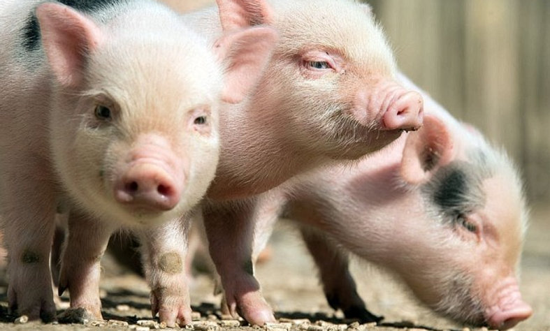 Diplom Schweine Tierheilpraktiker