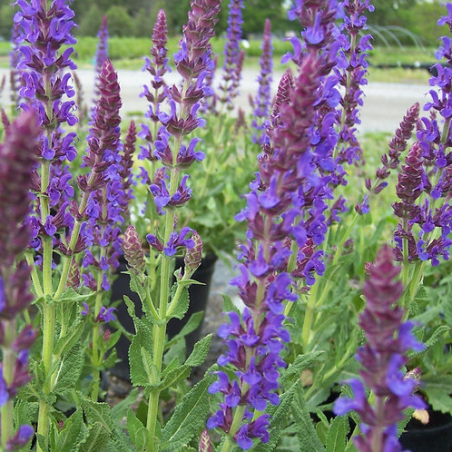 Salvia nemorosa 'Merleau Bleu'