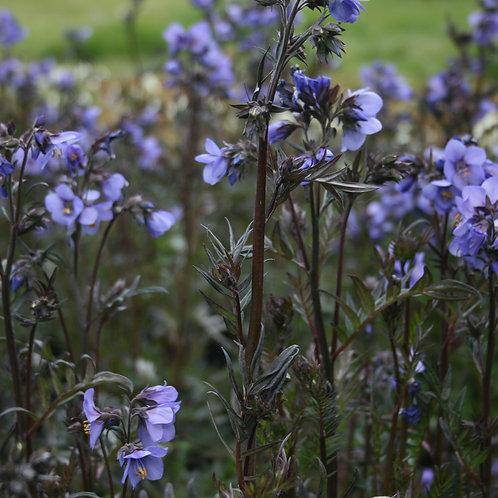 Polemonium caeruleum 'Bressingham Purple'