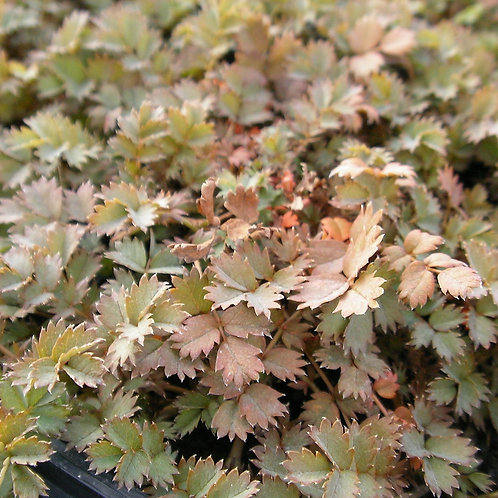 Acaena microphylla 'Küpferteppich'