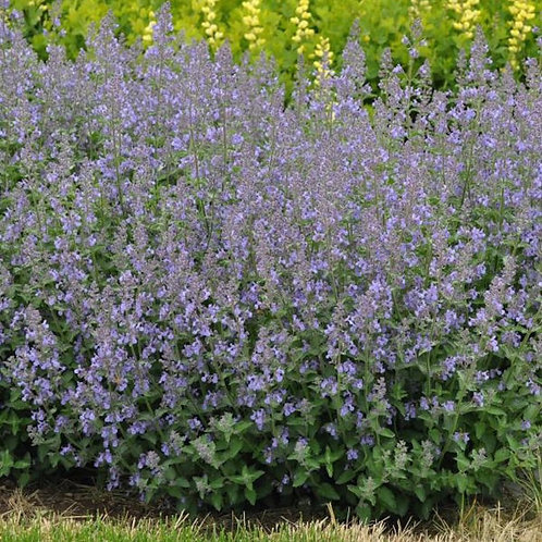 Nepeta 'Junior Walker'