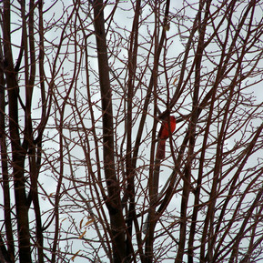 cardinalpic.jpg