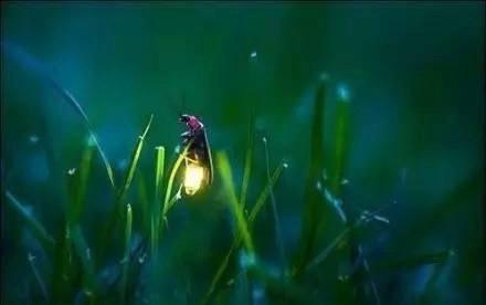 Die Leuchtkäfer fliegen aus den Grasbüscheln heraus.