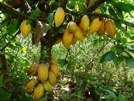 cocoa tree 1.jpg