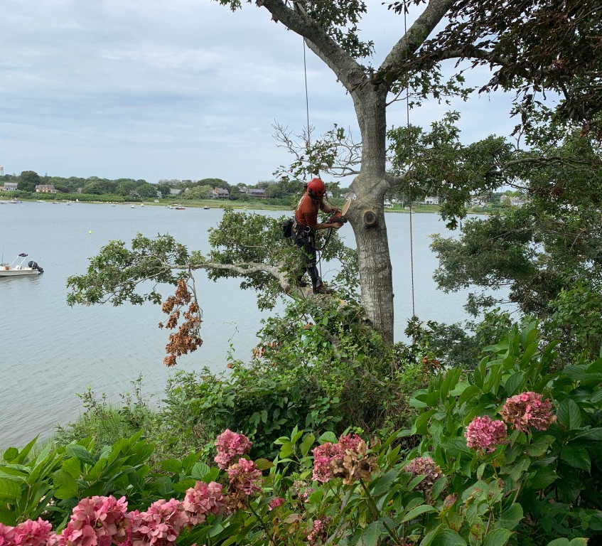 Pruning in Chatham, MA