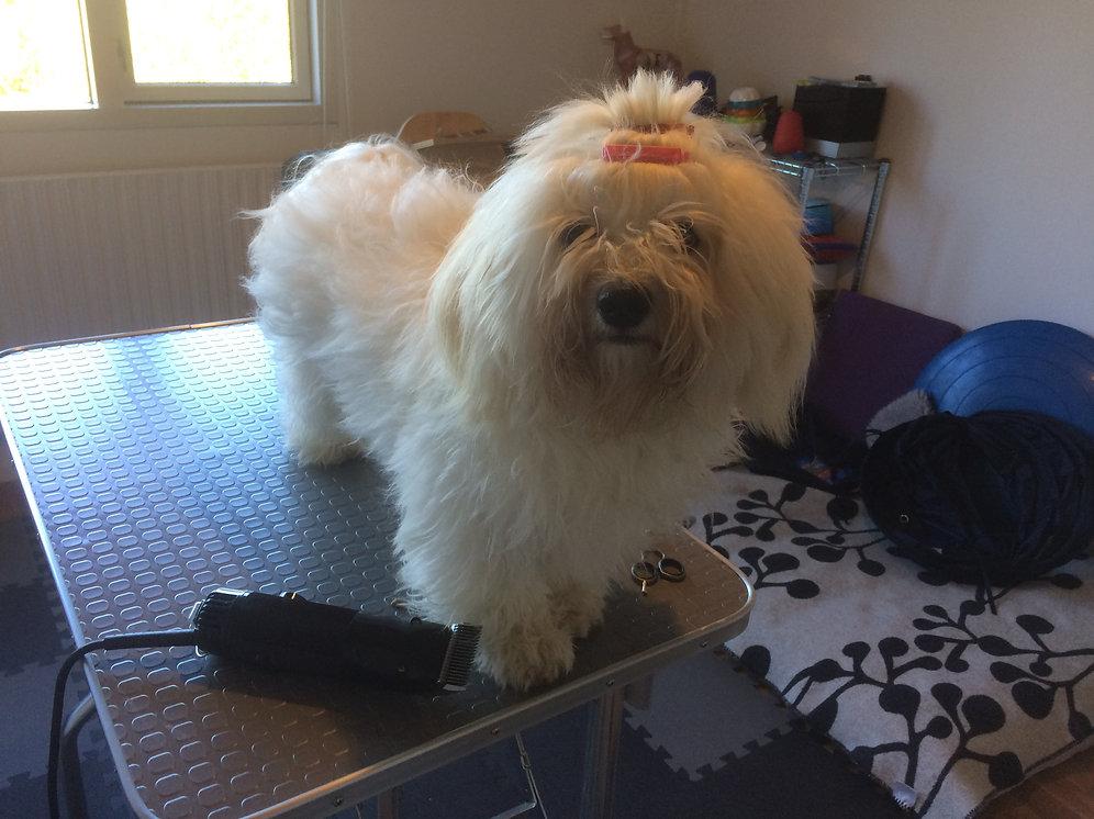 kursus i klipning af hund