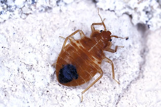 Bed%20bug%20Cimex%20lectularius%20parasitic%20insects%20of%20the%20cimicid%20family%20feeds%20on%20h
