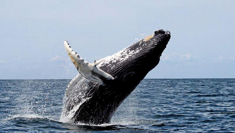 لولا النفط لانقرضت الحيتان!؟ ما صحة هذه العبارة
