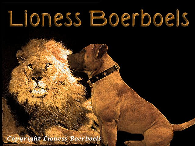 lionboerboel3