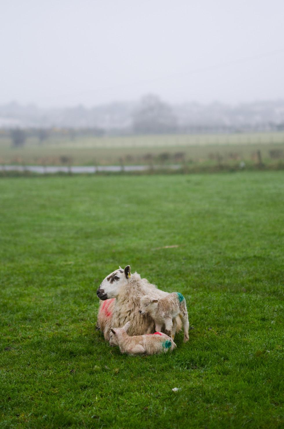 Sheep_007