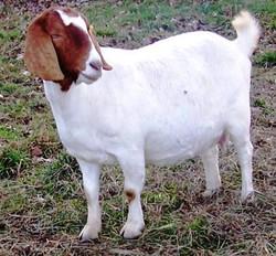 Boer Goat Staveley Madelynne Mouse