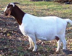 Boer Goat Staveley Lasenza Sweets
