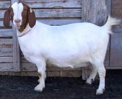 Boer Goat CR28237