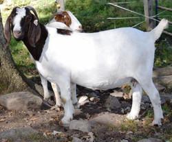 Boer Goat CR29061
